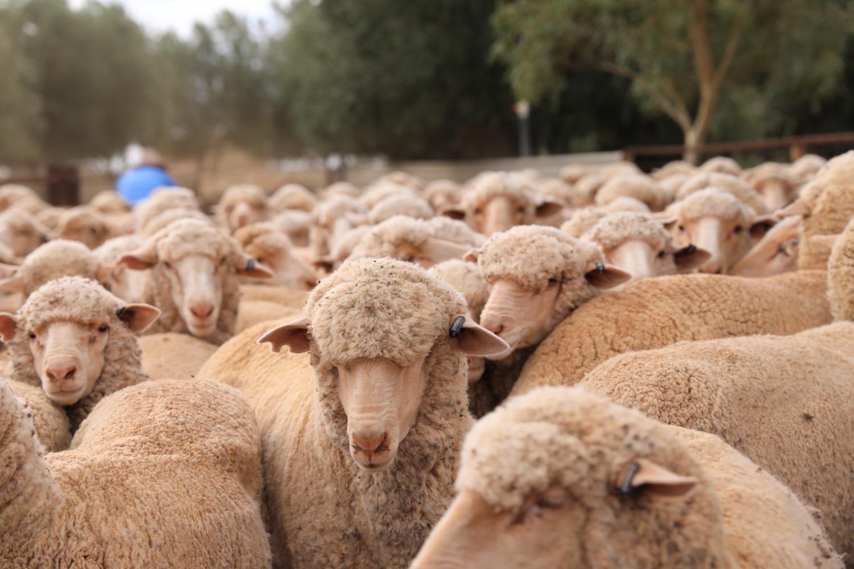 sheep work