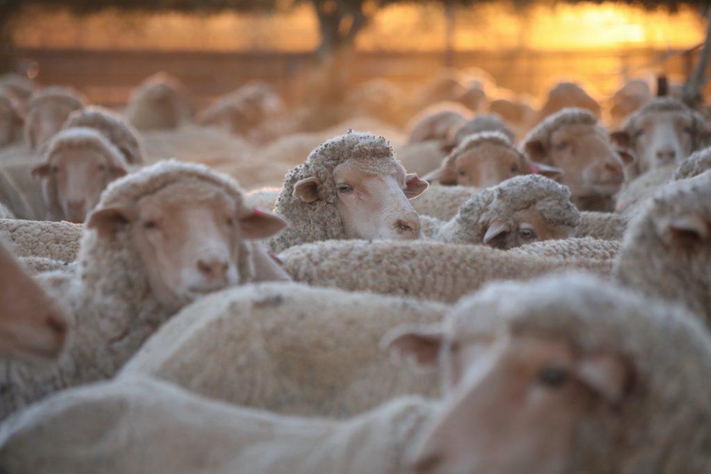 Sheep 0002