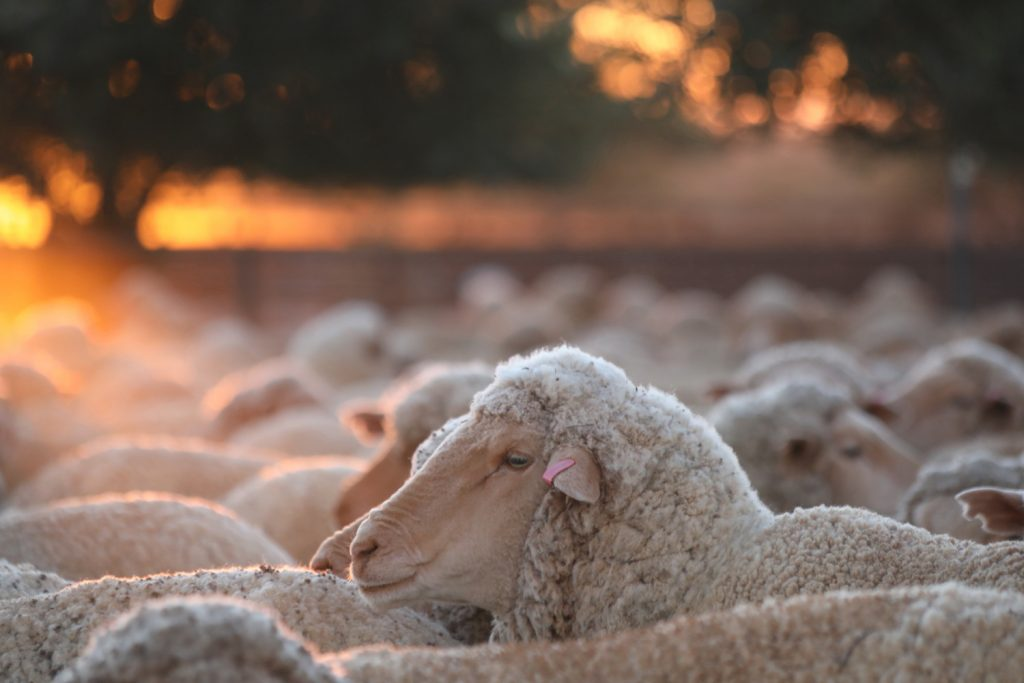 Sheep 0003