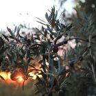 Olive crop